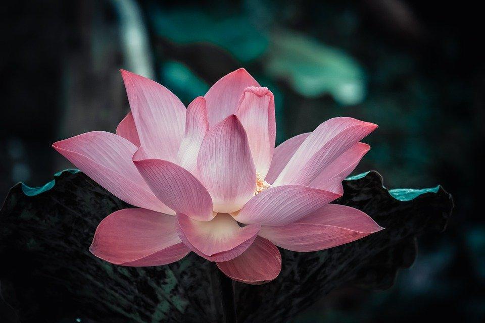 Flor de loto. Meditación